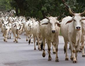 cows running in India